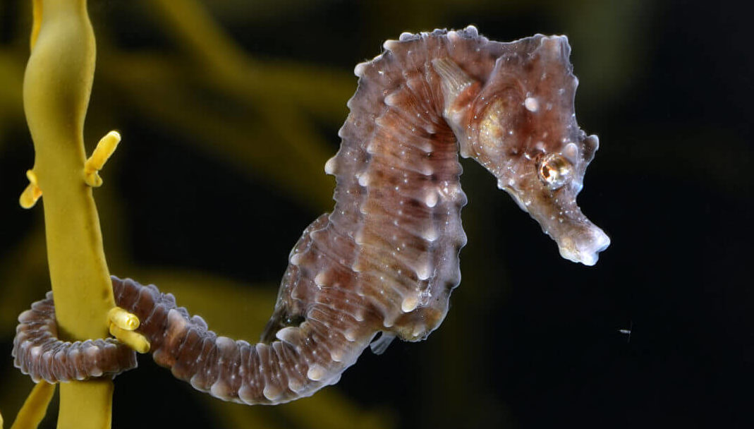 Short-snouted seahorse