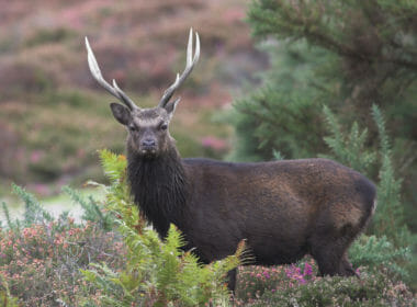 sika stag hunting